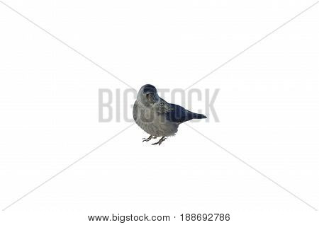 A western jackdaw isolated on white background.