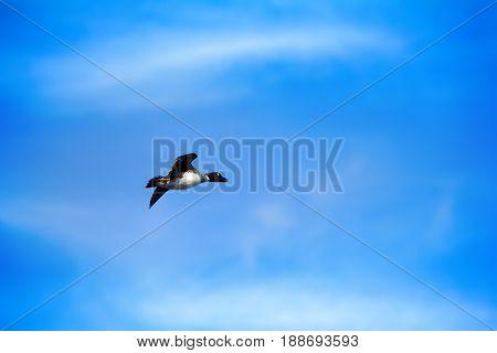 Goldeneye, Male In Breeding Plumage In Flight