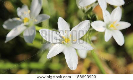 Ornithogalum Umbellatum, The Garden Star-of-bethlehem, With Blossoms