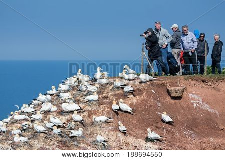 HELGOLAND GERMANY - MAY 27 2017: People taking pictures of brooding Northern Gannets at red cliffs of Helgoland