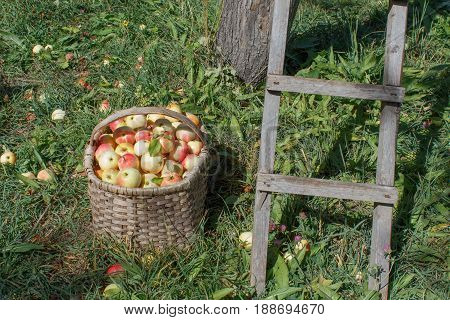 Organic Ripe apples in basket in summer grass. Apple orchard. Fresh apples in nature