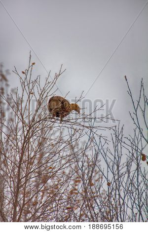In Autumn, Grouse (lyrurus Tetrix) Feed With Buds