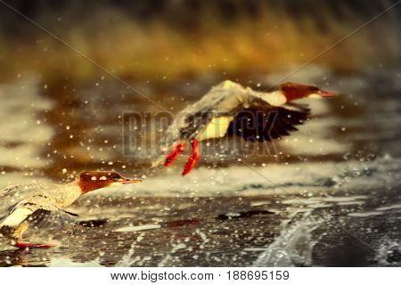Goosander (female, Mergus Merganser), Running Start In Fountains Spray