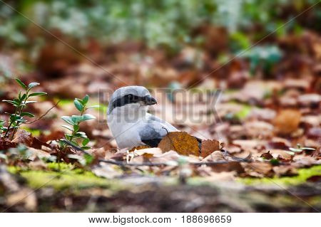 Great Grey Shrike Hunting For Mice Among Fallen Leaves
