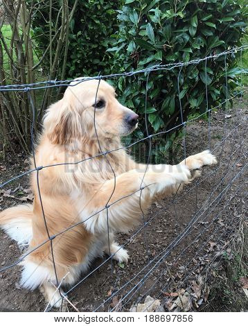 Waiting Dog. A young female Golden Retriever sitting on hind legs waits patiently behind a fence for her owner