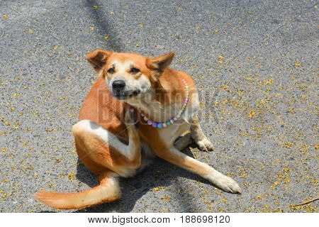 Brown Mongrel dog scratching and itch on street floor.