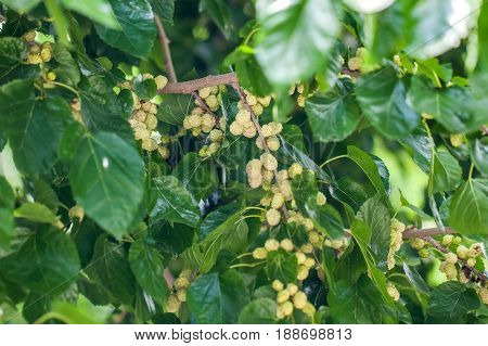 Fresh White Mulberry Berries On Tree, Mulberry Tree