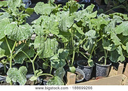 Sale of seedlings of cucumbers already established in pots.