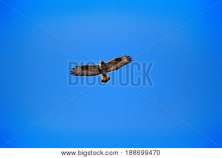 Rough-legged Buzzard Flying Over Nest.