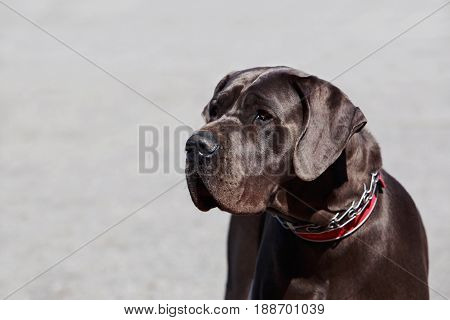 dog breed german mastiff on grey background