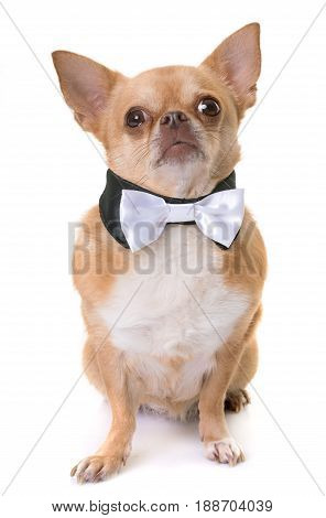chihuahua and bowtie in front of white background