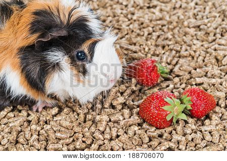 Multicolored guinea pig on pallets near a strawberry close-up