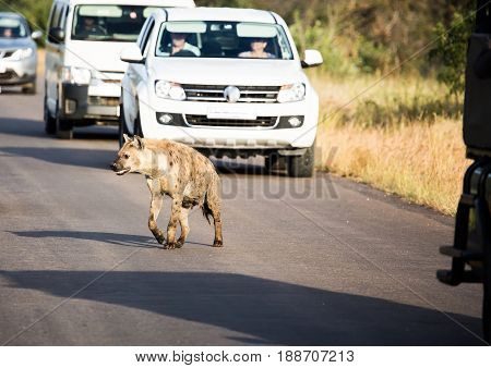 Spotted Hyena Crossing A Road At The Kruger National Park, South Africa