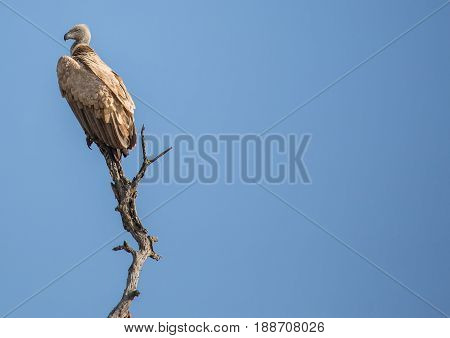 White-backed Vulture At The Kruger National Park, South Africa
