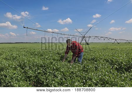 Farmer In Pea Field With Watering System