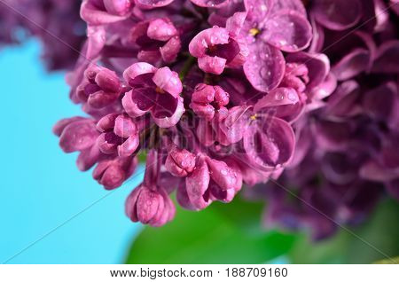 Branches Of The Young, Blossoming Lilac Closeup