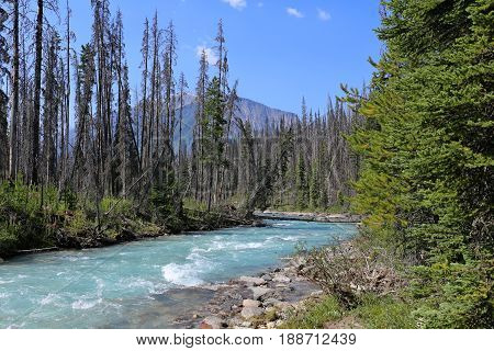comback of the nature, after a forest fire, yoho national park