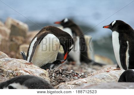 Young gentoo penguin beging food beside adult gentoo penguin, Antarctica Peninsula.