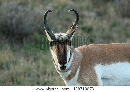 Pronghorn Antelopemin, in Yellowstone National Park, US