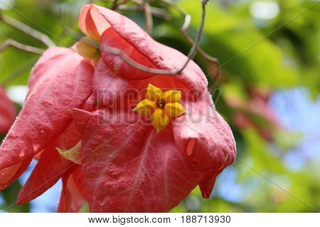 Yellow Flower inside Pink Leaves, tropical Flower