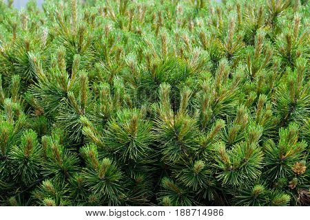 New plant growth in the Spring on a conifer shrub in Oregon.