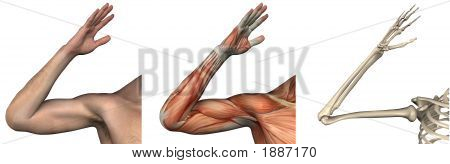 Anatomical Overlays - Right Arm