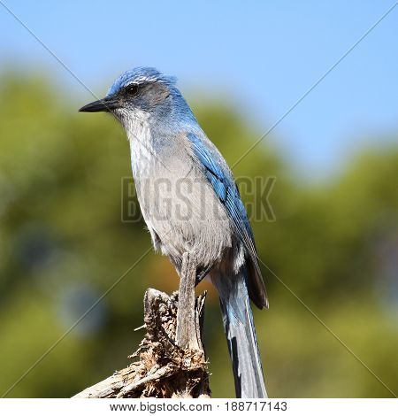 scrub jay, a blue bird in west USA
