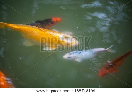 Japan Fish Call Carp Or Koi Fish Colorful, Many Fishes Many Color Swimming In The Pond