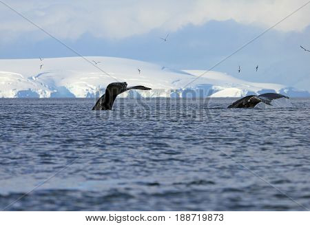 Humpback whale tail, showing on the dive, Antarctic Peninsula