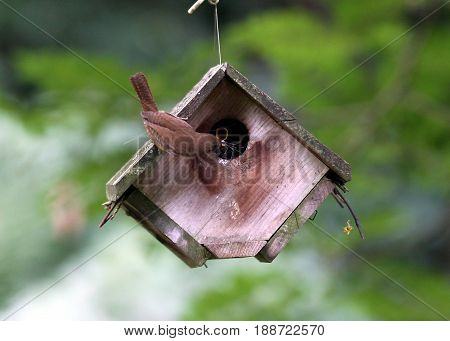 Mother wren feeding its baby a bug in a wooden bird house