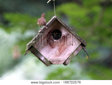 Mother wren sitting on a bird house getting ready to feed its baby in a wooden bird house