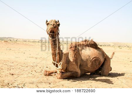 Camel Sitting Down In The Indian Desert.