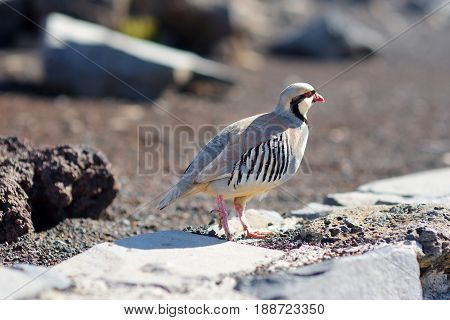 Chukar Partridge Or Chukar (alectoris Chukar)