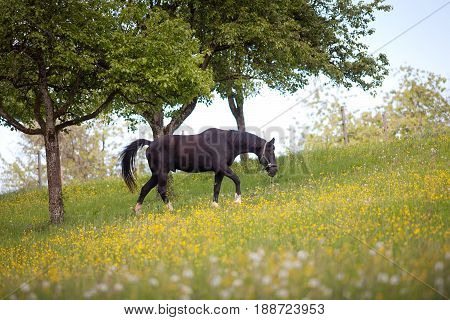 Black Horse free on meadow with lots of flowers