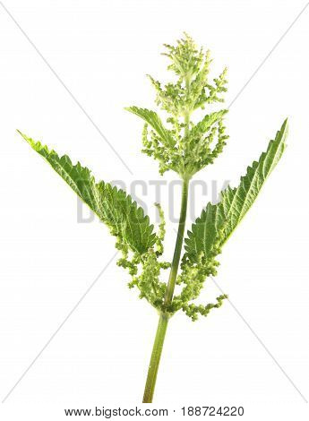Stinging nettle (Urtica dioica) with flowers and green leaves isolated on white background. Medicinal plant
