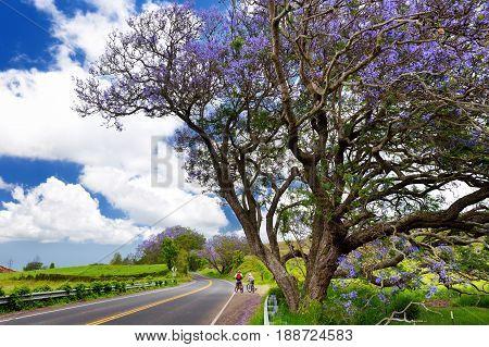 Beautiful Purple Jacaranda Trees Flowering Along The Roads Of Maui Island, Hawaii