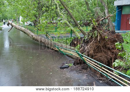 MOSCOW - MAY 29: The tree broken by a hurricane on Konenkova Street on May 29 2017 in Moscow. 11 people died during this hurricane.
