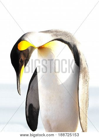 King penguin isolated, white background, on Saunders, Fakland Islands