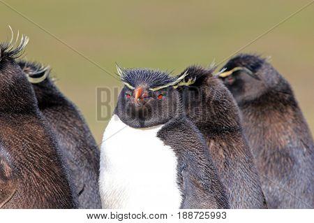 Rockhopper penguin in the rookery, Falkland Islands