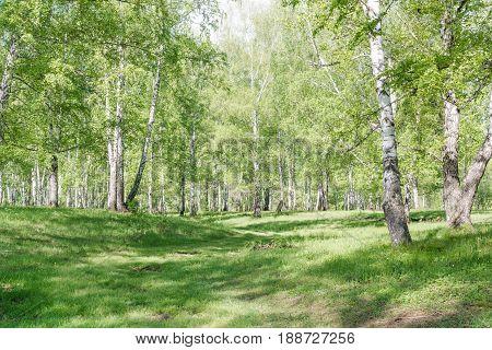 Green Birches. Birch Wood. Birch Thicket In The Summer.