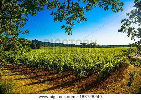 Bolgheri Castagneto vineyard and tree. Maremma Tuscany Italy. Maremma Tuscany Italy Europe.