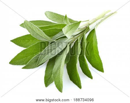 Sage leaves in closeup