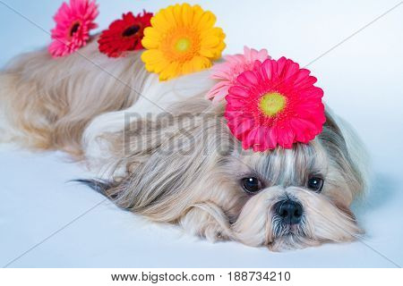 Shih tzu dog lying with flowers decoration. Relaxing and spa concept.