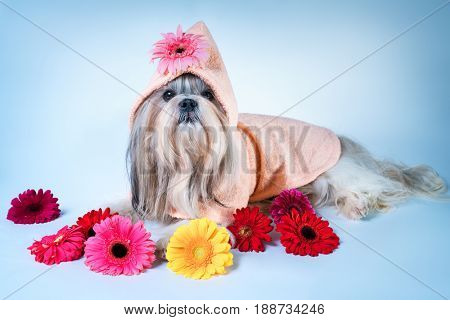 Shih tzu dog in pink bathrobe lying with flowers. Relaxing and good fragrance spa concept.