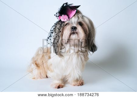 Shih tzu dog in pink hat sitting on white background