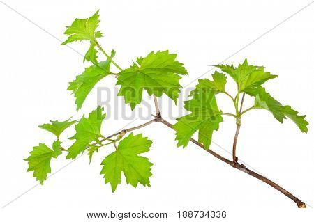 Branch of the viburnum