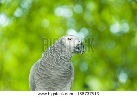 Portrait of the African grey parrot or Psittacus erithacus on natural green background.