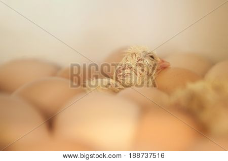 Birth of a baby chick on a farm, incubator for animals.