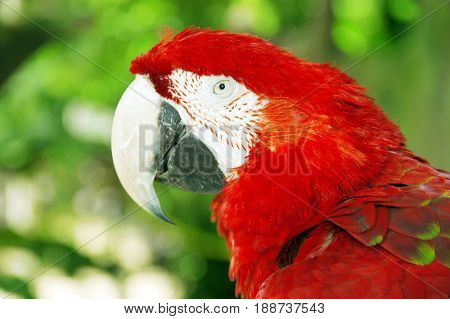 Close up scarlet macaw or red parrot, green natural background.