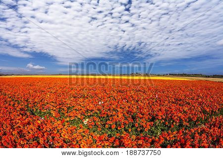 Concept of rural tourism. Light cirrus clouds portend a warm day. Luxury garden buttercups. The kibbutz in southern Israel